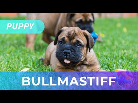 Bullmastiff Puppy For Sale | Fawn | Chews A Puppy