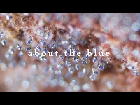 About The Blue   Damselfish Fans Eggs With Fins