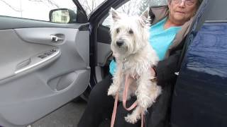 "Cairn Terrier ""dixie"" In Foster Care In Rockford Illinois"