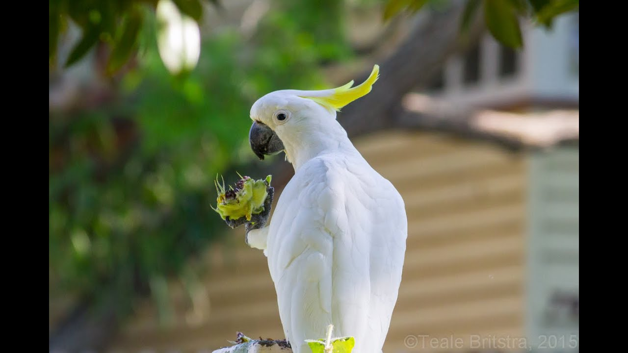 Image result for Sulphur-crested cockatoo pic