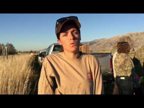 Utah Division of Wildlife Resources pheasant release in Paradise.