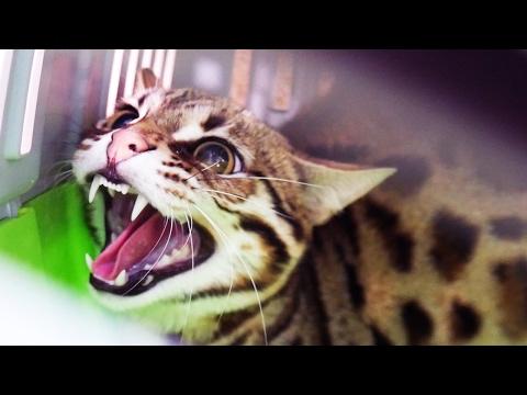 Бенгальская кошка фото, цена, котята бенгальской кошки