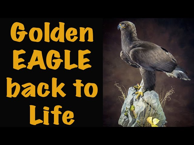 Time lapse Entertainment, Golden Eagle. Art of Taxidermy