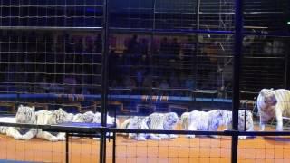 видео Ручной тигр Запашных в казанском цирке