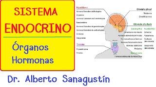 SISTEMA ENDOCRINO explicado FÁCIL: glándulas y hormonas