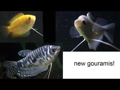 New Gouramis With Goldfish!