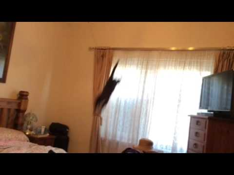 Bombay Cat jumping from Curtain