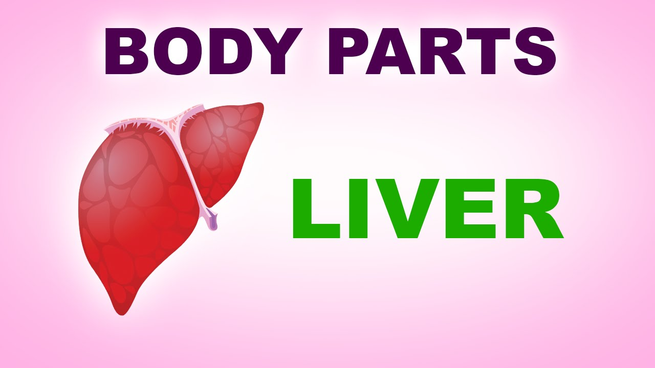 Liver Human Body Parts Pre School Know Your Body Animated
