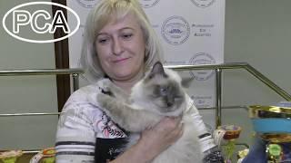 Кот Священная бирма блю-пойнт Дуглас Белые лапки