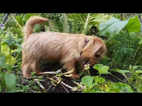 Rusty the Norfolk Terrier - Helping in the Garden