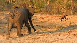 Elephants chasing wild dogs thumbnail