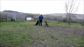 German Shepherd, Dog Aggression Training