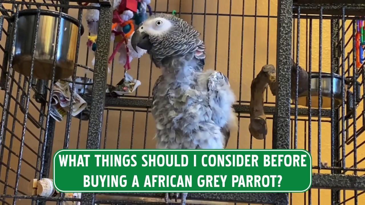 abba african grey food diet
