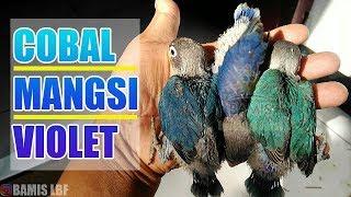 PERBEDAAN WARNA LOVEBIRD COBALT MANGSI DAN VIOLET || BAMIS LOVEBIRD farm