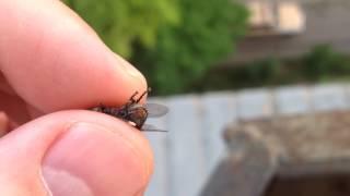 Муха рожает , слабонервным не смотреть / a fly gives birth
