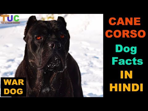 Cane Corso Dog Facts In HINDI : Popular Dogs : TUC : The Ultimate Channel