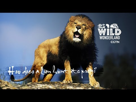 Live: Wonders of the wild Ep. 2 – How does a lion hunt its prey?