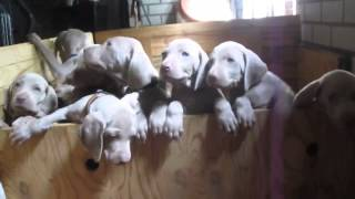 Puppies Smell Mummy, Puppies See Mummy, Puppies Wanna Be Wi