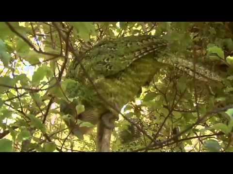 Meet the Kakapo
