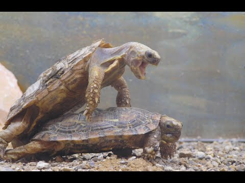 FUNNY TURTLES MAKING LOVE - cool stuff - YouTube