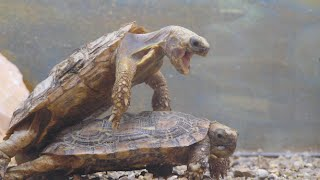 FUNNY TURTLES MAKING LOVE - cool stuff