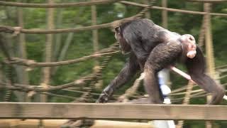 多摩動物公園 チンパンジー 2017年9月 Chimps at Tama Zoological Park,...