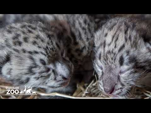 Snow leopards born at Cleveland Metroparks Zoo