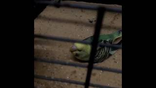 My sick panting squeaking budgie