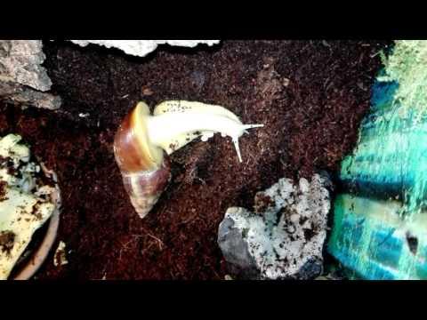Achatina fulica white jade lay eggs work