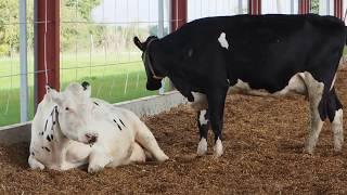 du miscantus en litière bovine