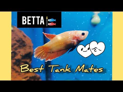 betta-fish-:-best-tank-mates-for-siamese-fighting-fish