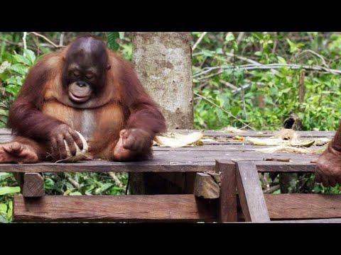 Baby Orangutans Learn