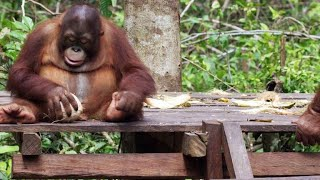 Baby Orangutans Learn How to Crack Coconuts