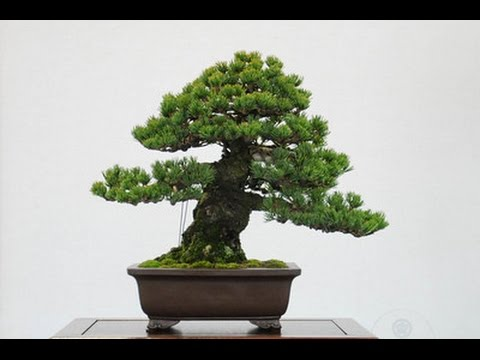 Conifer Bonsai Trees Youtube