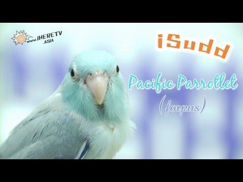 นกแก้วจิ๋ว Forpus (Pacific Parrotlet)