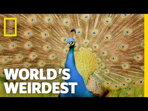 Peacock Courtship | World's Weirdest
