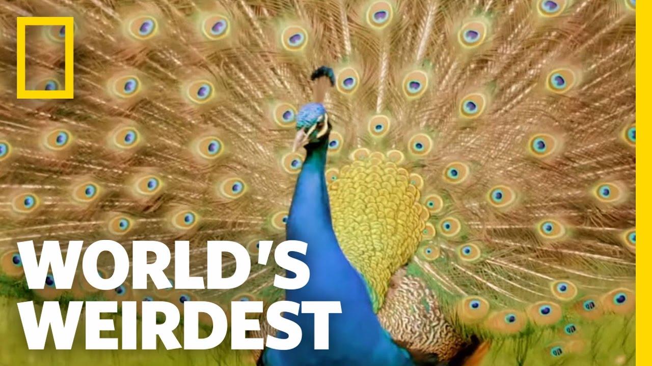 10 bizarre and beautiful bird courtship dances | MNN - Mother Nature