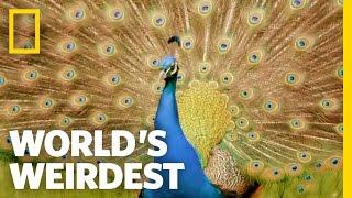 Peacock Courtship | World