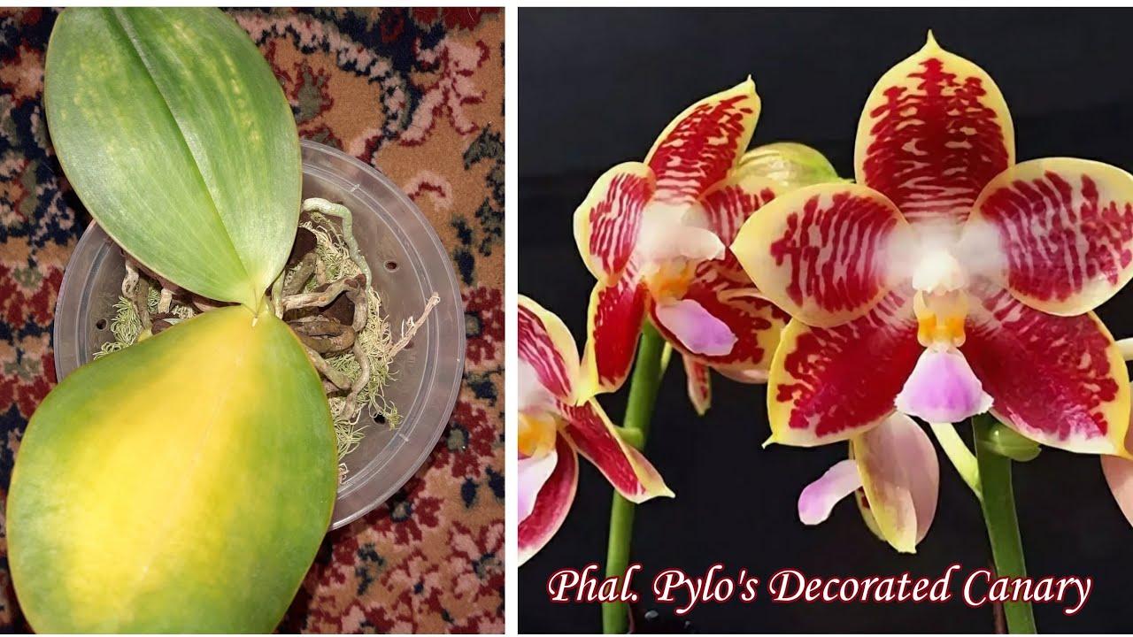 У Орхидеи Желтеют Листья | Phal. Pylo's Decorated Canary