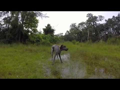 GoPro German Shorthaired Pointer Video