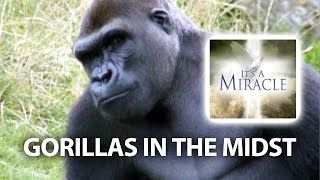 Gorillas in the Midst - It's a Miracle