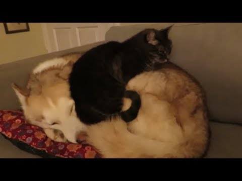 Cat hilariously decides to sleep on top of husky dog
