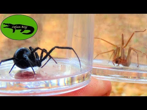 Black Widow VS Brown Recluse! - Which Is Deadlier?