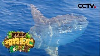 [正大综艺·动物来啦]判断题:翻车鱼侧躺在海面上是在晒太阳| CCTV