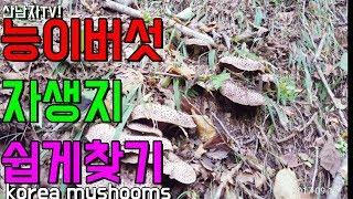능이버섯 자생지 초보자 쉽게 찾는 방법?? 초보 산행 산남자 능이버섯 건강 항암 자연 달걀