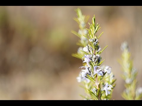 rosemary-essential-oil:-how-to-prepare-it-at-home-and-its-incredible-benefits