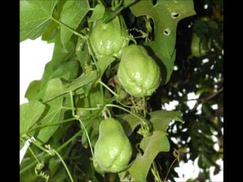 Beneficios del chayote o tayota youtube - Como se planta el bambu ...