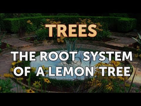 the-root-system-of-a-lemon-tree