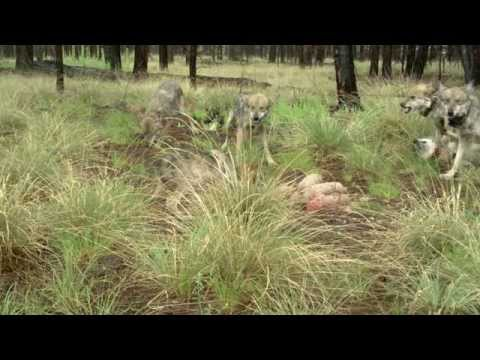 Arizona's Endangered Mexican Wolves