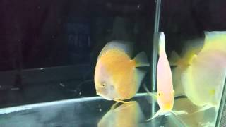 Discus fish compitition in india